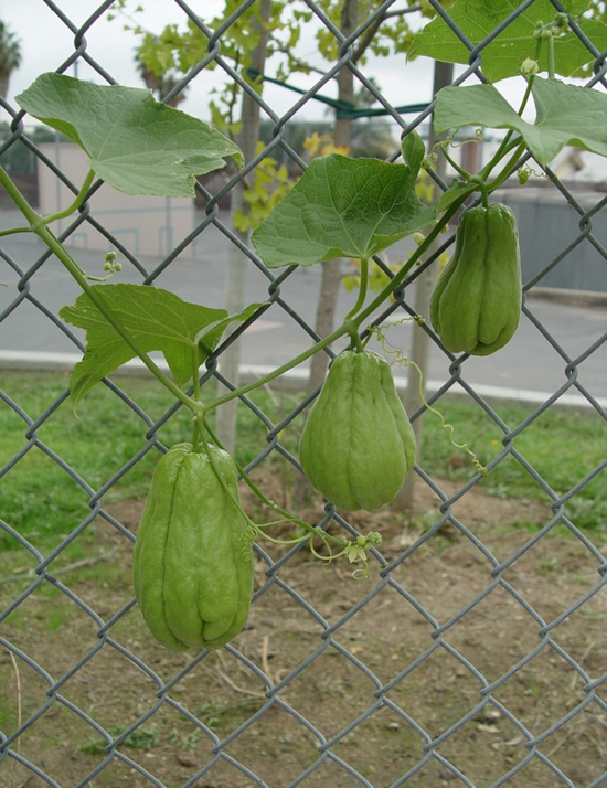 How To Grow Chayote School Garden Weekly