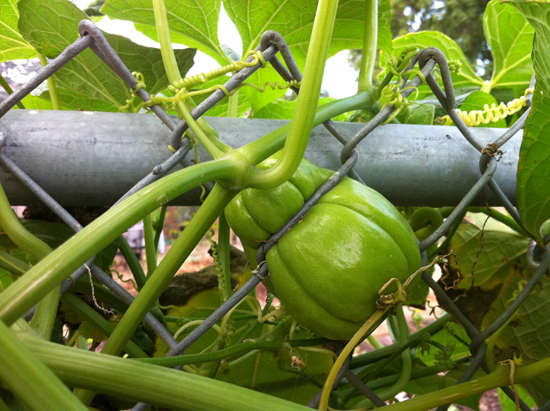 chayote fence