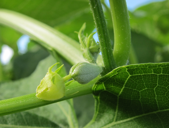 chayote female flower