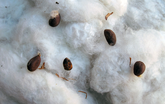 how to clean raw cotton