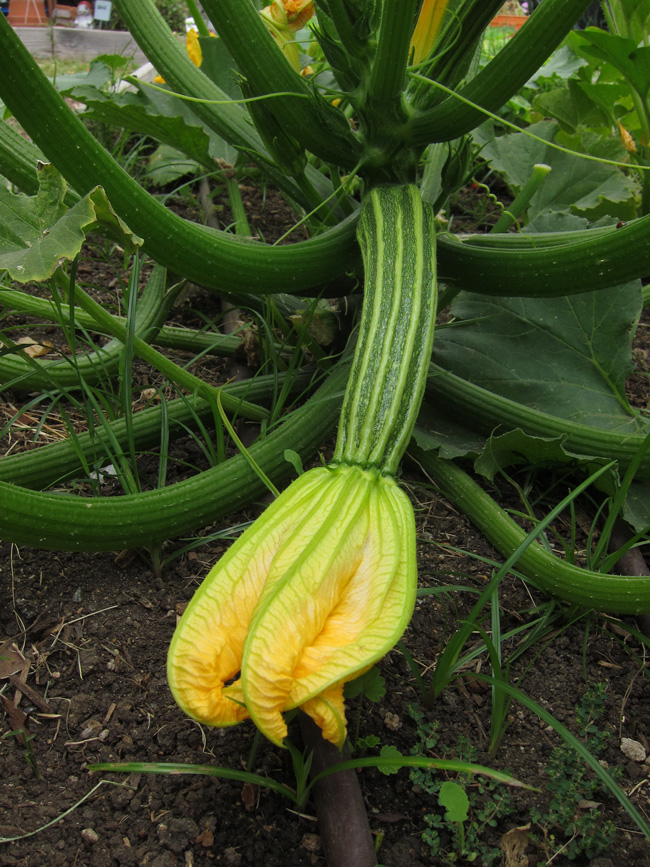 zucchini female flower